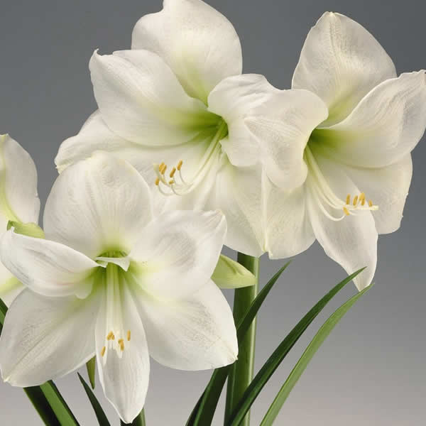 Amaryllis Bulbs Planting and Care Tips