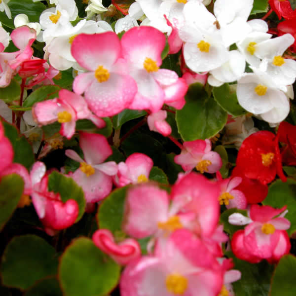 Low Maintenance Plant: Begonias