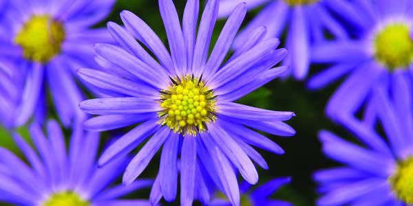 Easy Care Perennials For Sun - Asters