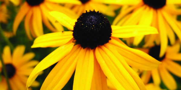 Easy Care Perennials For Sun - Black Eyed Susan