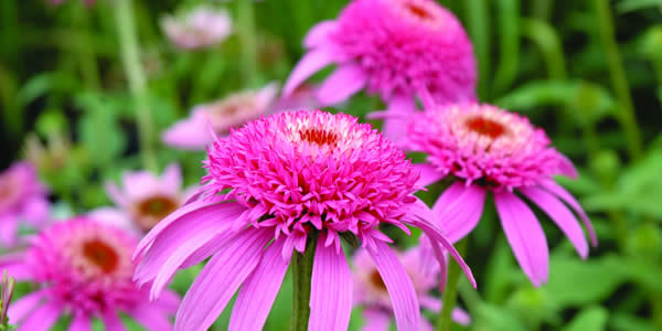 Easy Care Perennials For Sun - Coneflowers