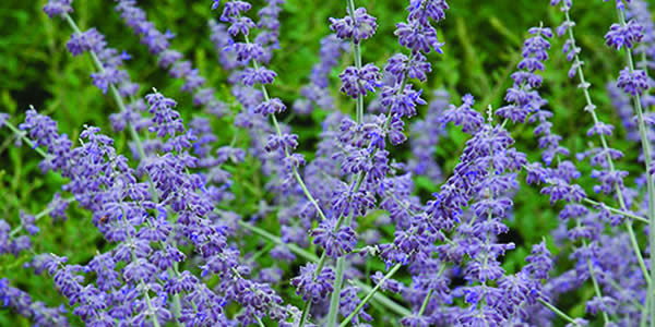 Easy Care Perennials For Sun - Russian Sage