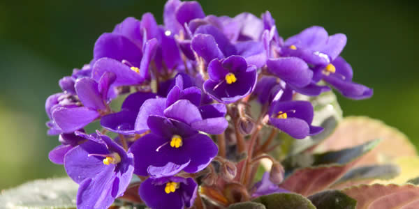 African Violet - Indoor Blooming Plants