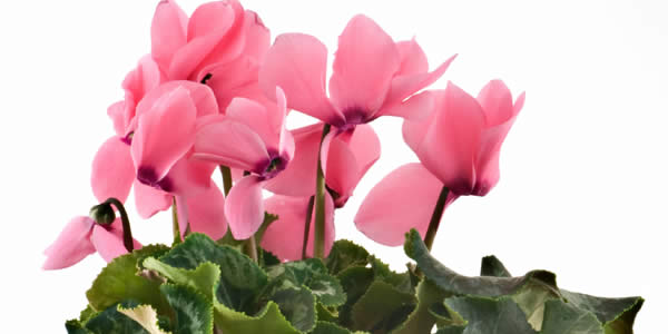 Cyclamen - Indoor Blooming Plants