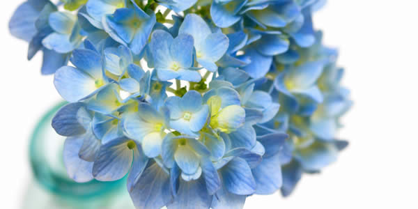 Hydrangea - Indoor Blooming Plants