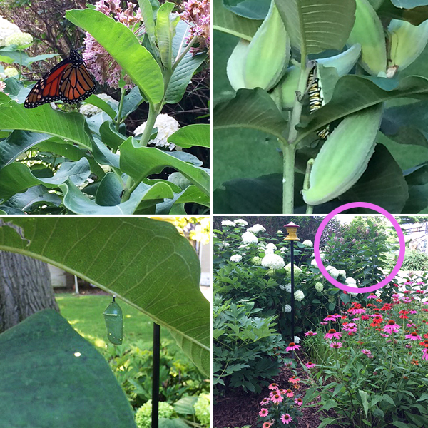 Take 3 Monarch garden