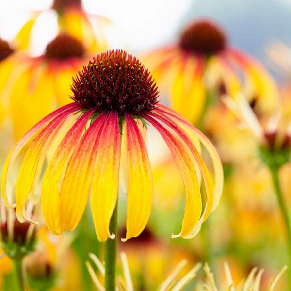 Coneflower Fiery Meadow Mama