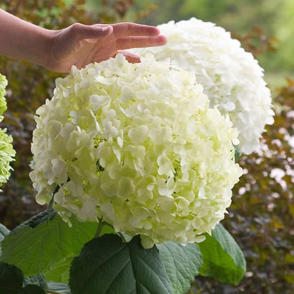 Melinda's Garden How-To:Plant partners for hydrangeas