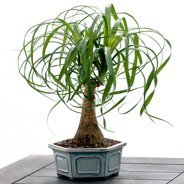 Melinda's Low Maintenance Plant: Ponytail Palm
