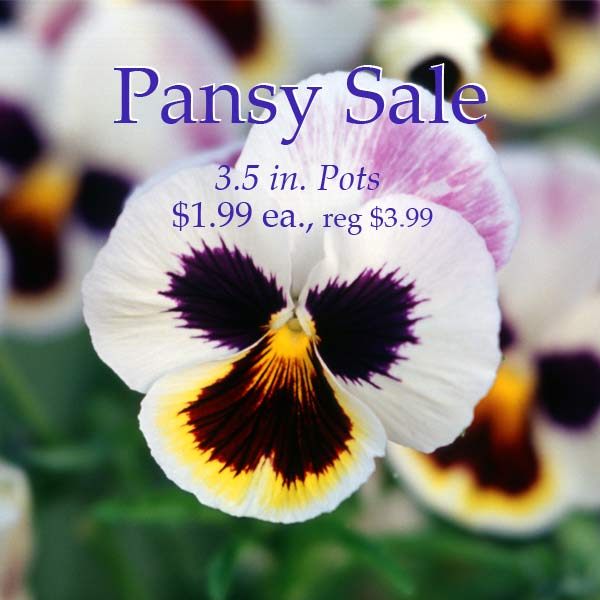 Pansy Sale