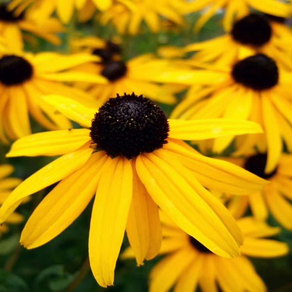 Low Maintenance Plant: Rudbeckia