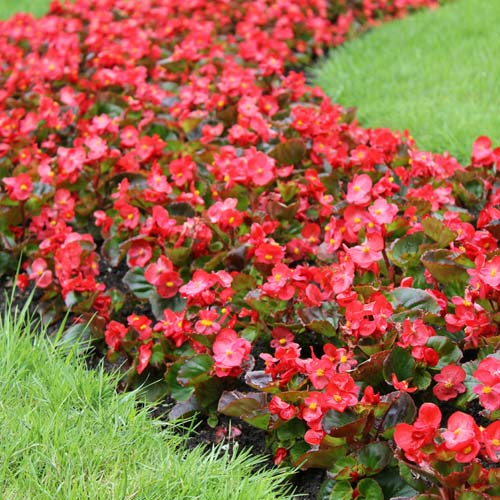 Wax begonia spring savings