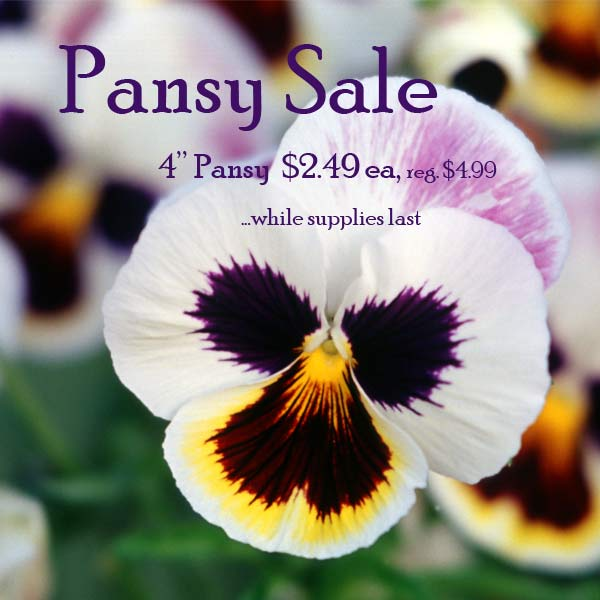 Pansy Sale 2020
