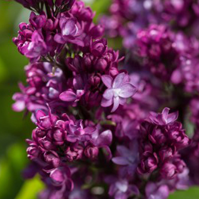 Low Maintenance Plant: Lilacs