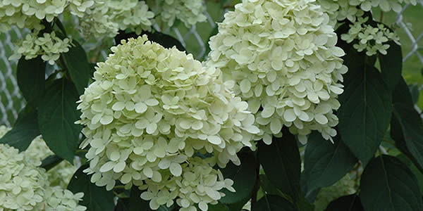 Beautiful Hydrangeas - Limelight Hydrangea