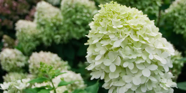 Beautiful Hydrangeas - Little Lime Hydrangea