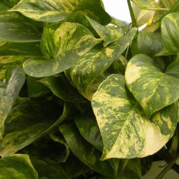 Low Maintenance Plant:Pothos