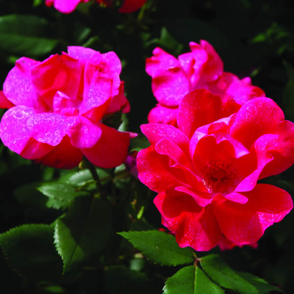 Low Maintenance Plant: Knock Out Roses