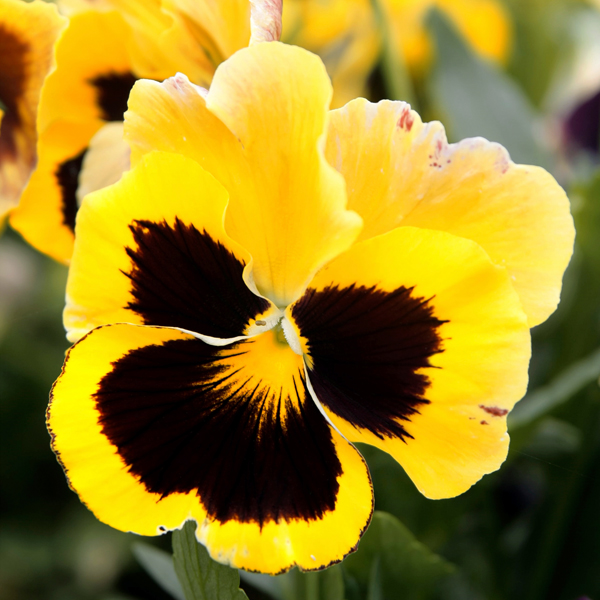 Caring for Pansies