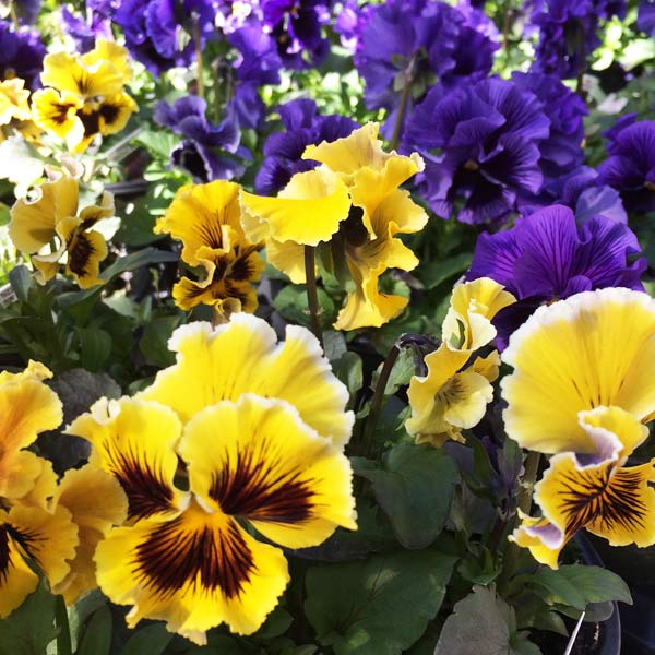 Pansies are here