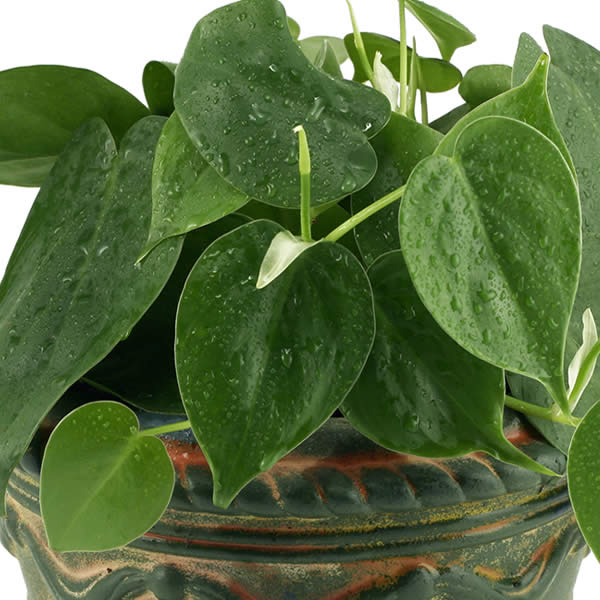 Low Maintenance Plant: Philodendron