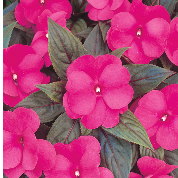Low Maintenance Plant: SunPatiens