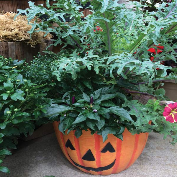 Low Maintenance Trio: Mums, Kale, Ornamental Peppers