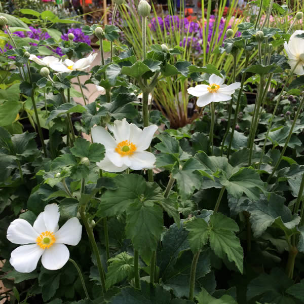 Fall Blooming Anemones