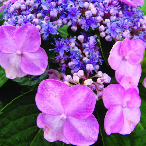 Hydrangeas: Selection, Planting & Care