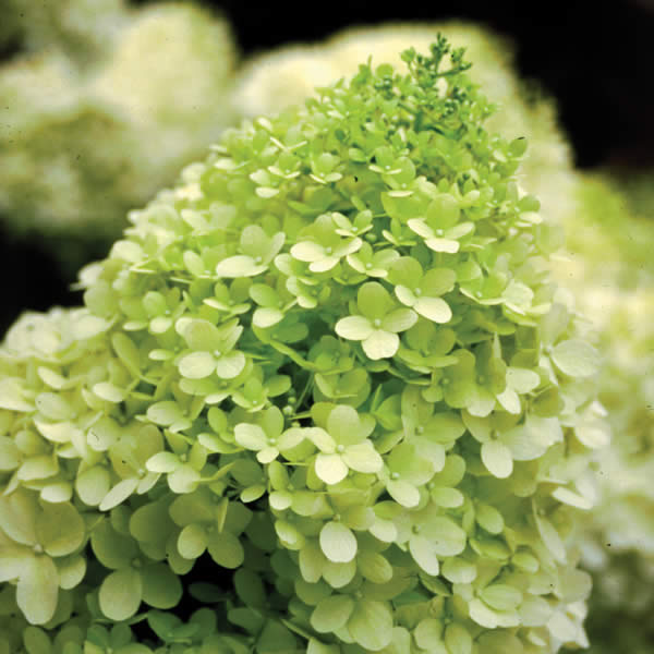 Low Maintenance Plant: Hydrangeas